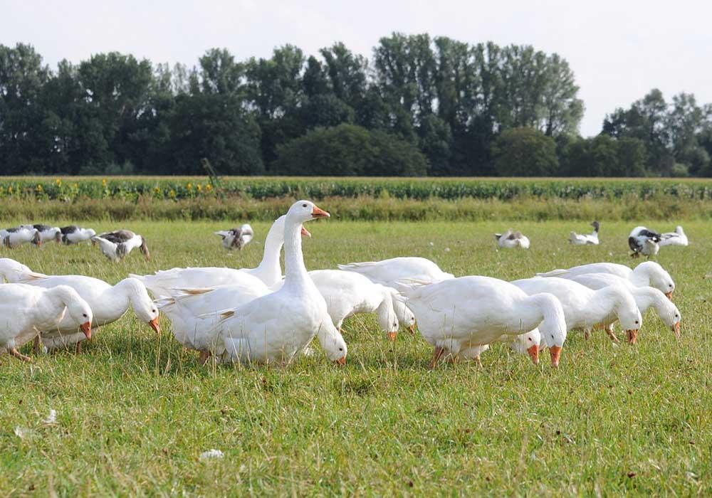 Suppenhühner vom Hof Hilge, Foto 1