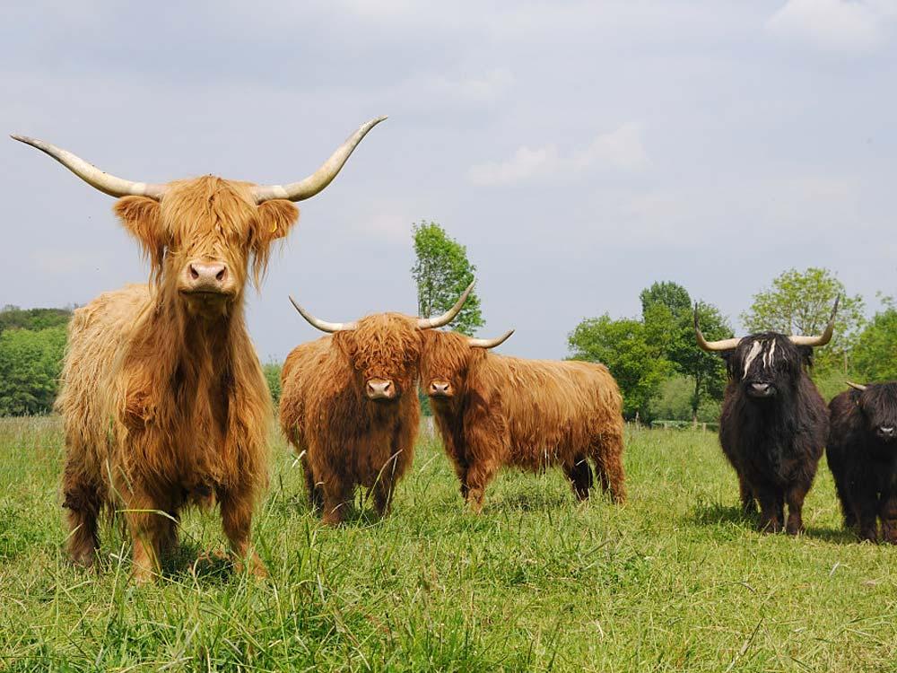 Schottische Hochlandrinder vom Hof Hilge, Foto 5
