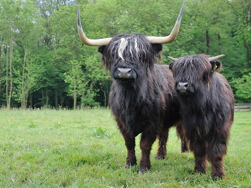 Schottische Hochlandrinder vom Hof Hilge, Foto 4